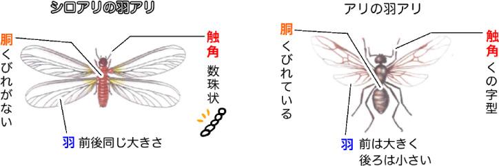 白蟻と羽蟻の違い